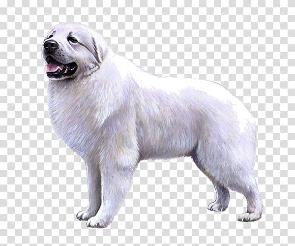 Great Pyrenees Slovak Cuvac Dog breed Maremma Sheepdog.