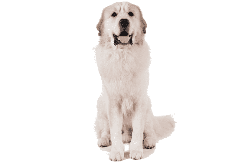 Great Pyrenees Breed Information: Facts, Pictures, Temperament and.