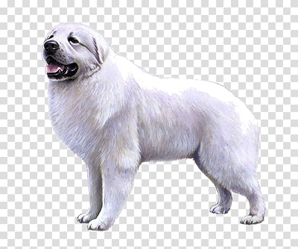 Great Pyrenees Slovak Cuvac Dog breed Maremma Sheepdog Polish Tatra.