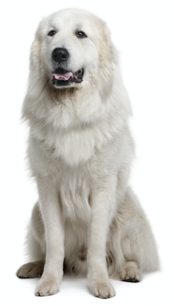 What Is The Best Dog Food for a Great Pyrenees?.
