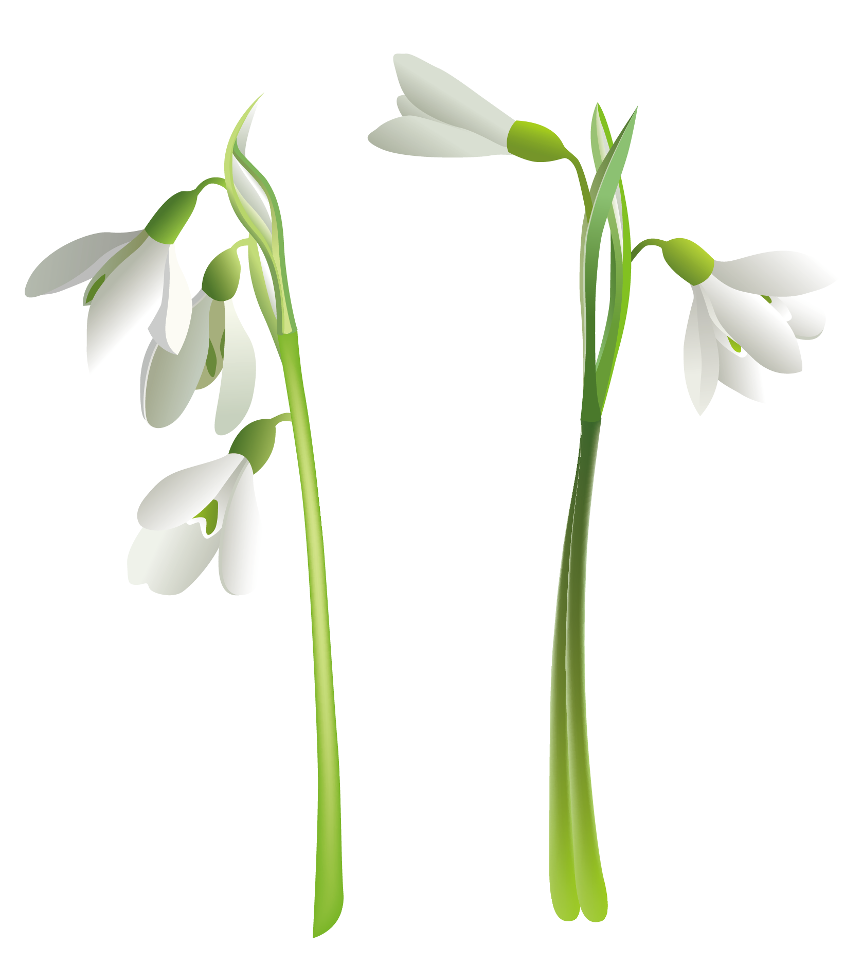 Snowdrops PNG Clipart.
