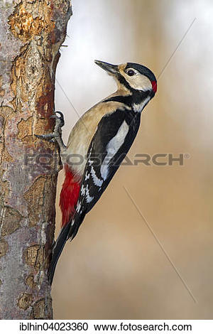 """Stock Photography of """"Great Spotted Woodpecker (Dendrocopos major."""