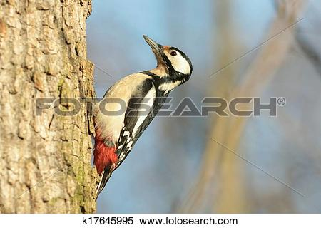 Stock Image of Great Spotted Woodpecker k17645995.