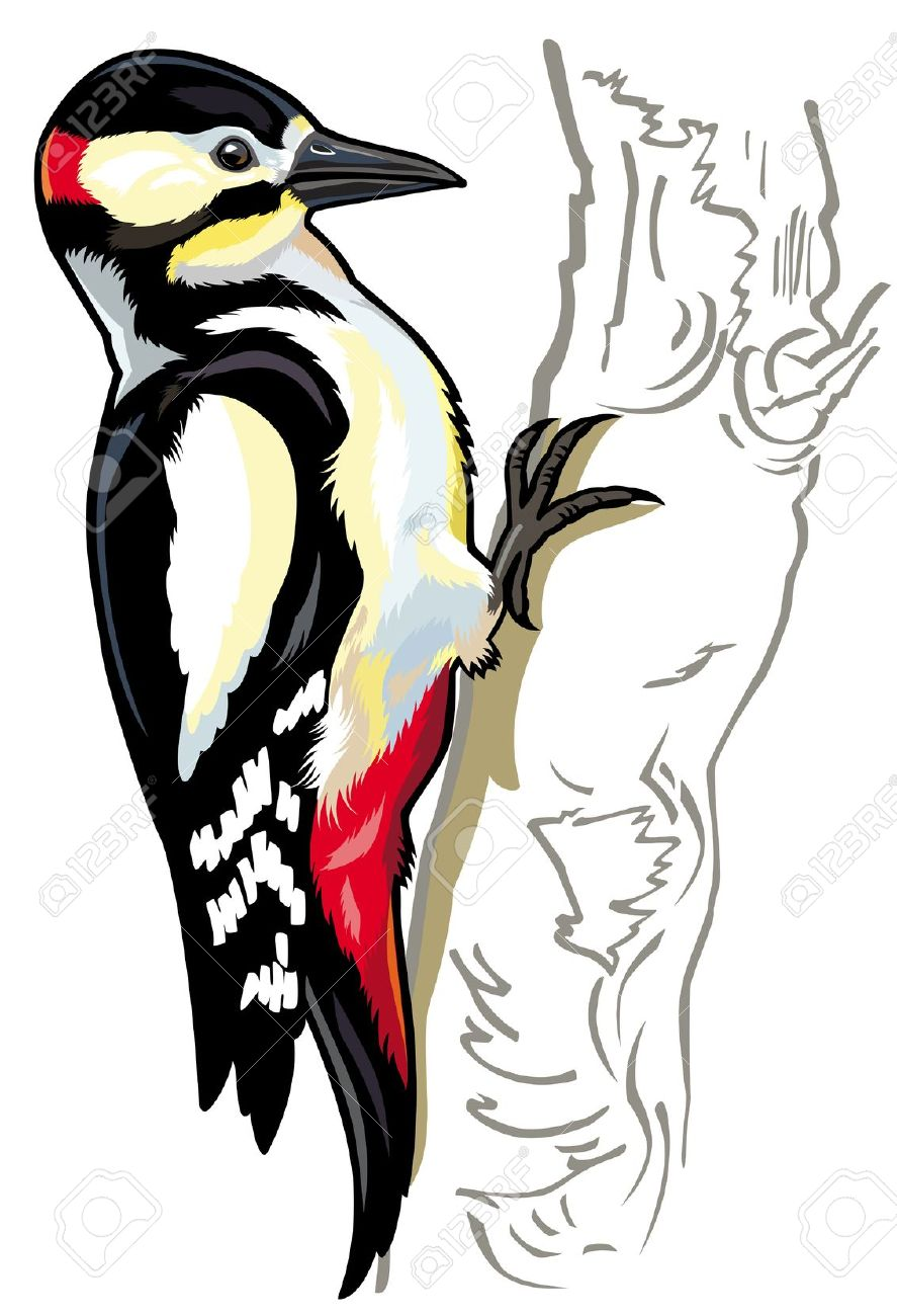 Great Spotted Woodpecker,side View Picture Isolated On White.