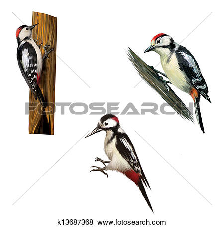 Stock Illustration of Great Spotted Woodpecker on a tree. Middle.