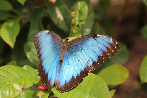Blue, Butterfly, Animals.
