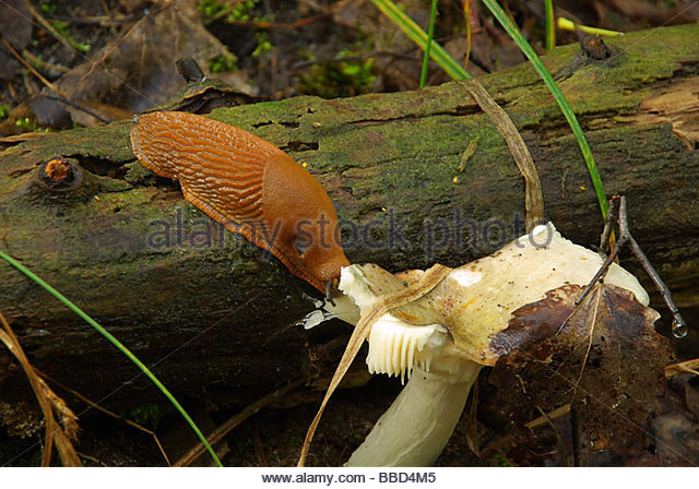 Red Forest Snail Stock Photos & Red Forest Snail Stock Images.