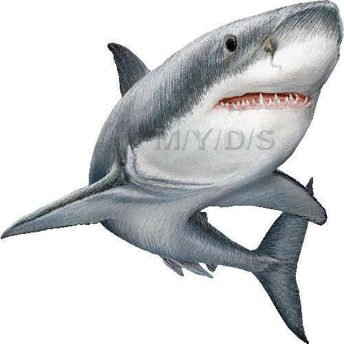 Great White Sharks clipart picture / Large.
