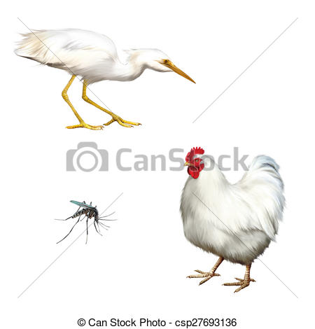 Drawings of chicken isolated, Great White Egret, Ardea alba.