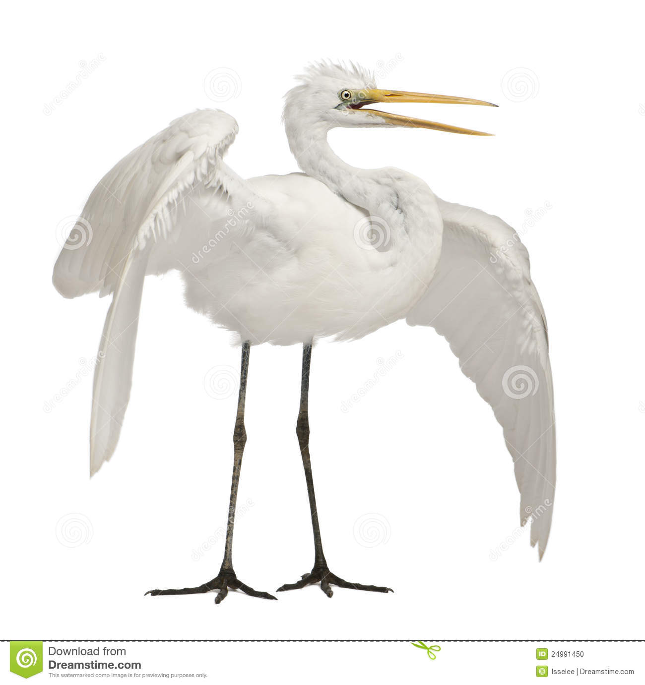 Great Egret Or Great White Egret Stock Photo.