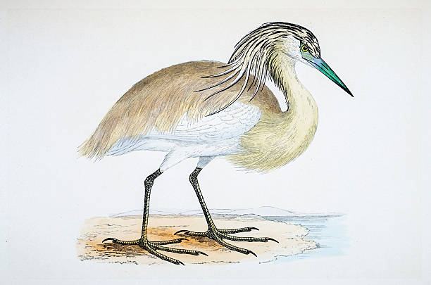 Great White Heron Clip Art, Vector Images & Illustrations.