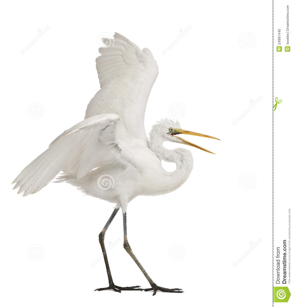 Great Egret Or Great White Egret Royalty Free Stock Photo.