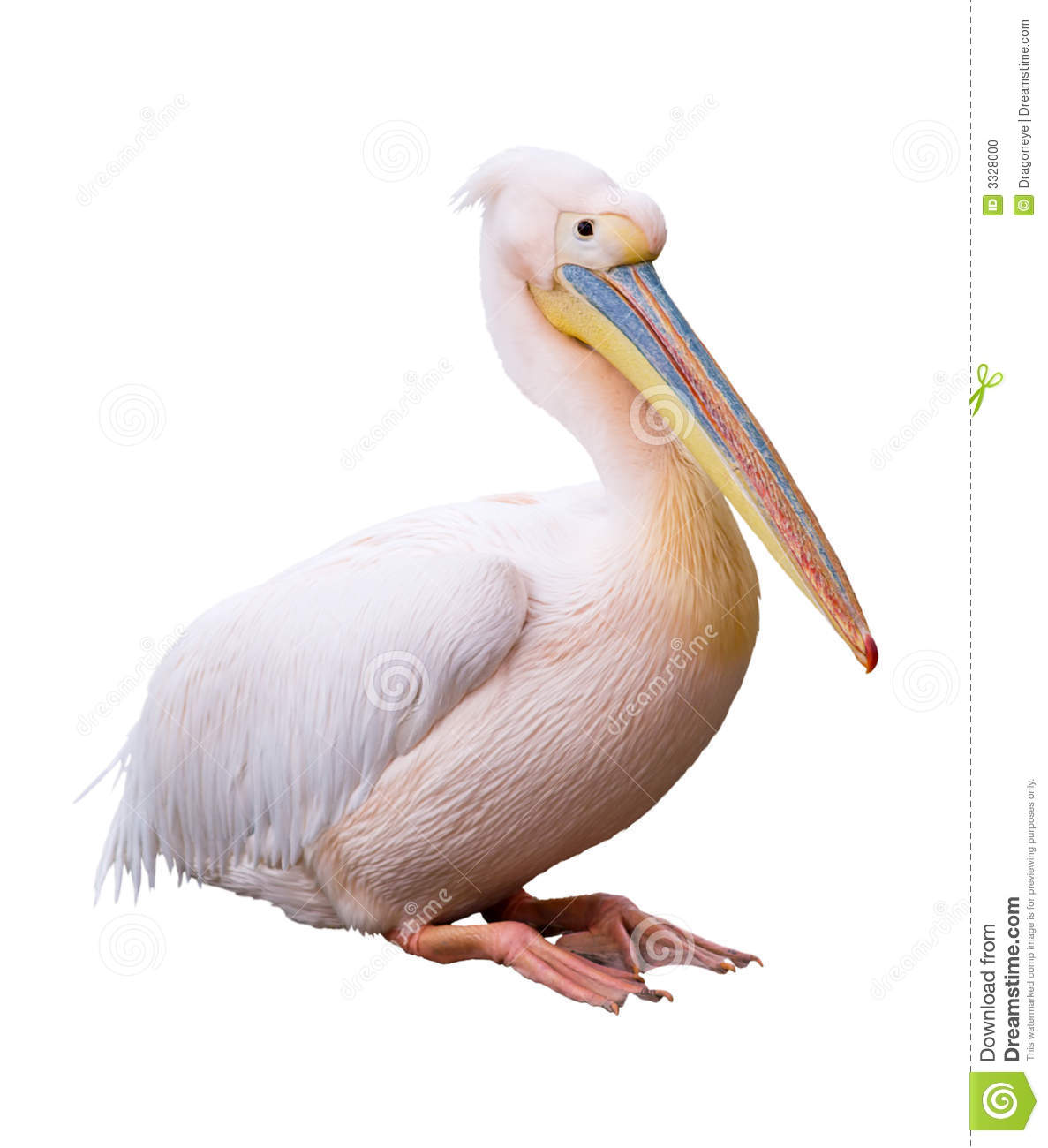 Great White Pelican Cutout Stock Photo.