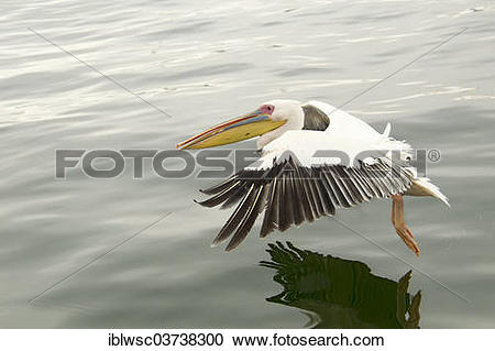 "Stock Photography of ""Great White Pelican (Pelecanus onocrotalus."