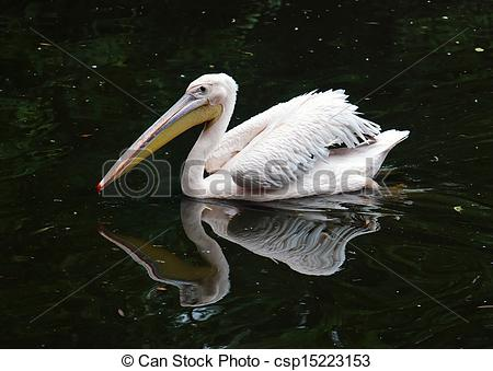 Stock Images of Great white pelican (Pelecanus onocrotalus.