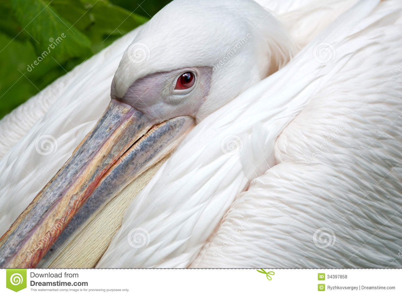 Great White Pelican Royalty Free Stock Photos.
