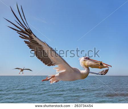 Great White Pelican Stock Photos, Royalty.