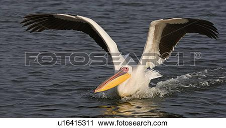 Stock Photography of Great White Pelican landing in water, Namibia.