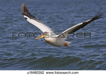 Stock Photo of Great White Pelican flying over water, Namibia.