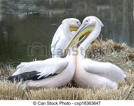 Stock Photo of Couple of two Great White Pelicans.