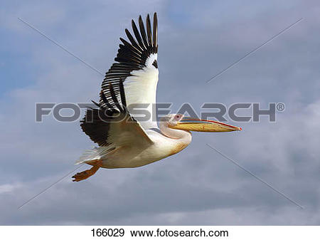 Stock Photograph of Great White Pelican.