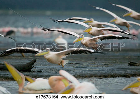 Stock Photo of Great White Pelicans (Pelecanus onocrotalus) flying.