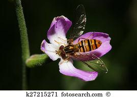Bombyliidae Images and Stock Photos. 50 bombyliidae photography.