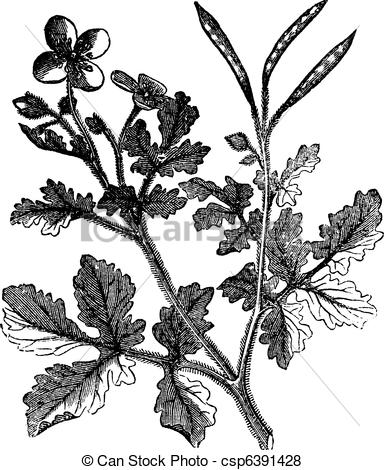 Vector of Greater Celandine vintage engraving.