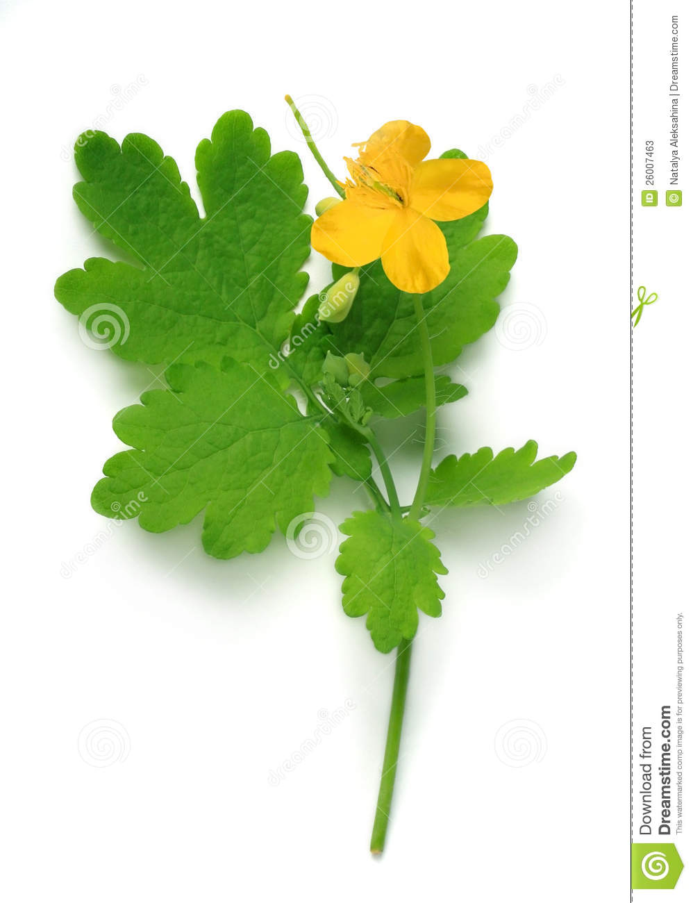 Chelidonium (greater Celandine) Flower And Leaf Stock Photos.