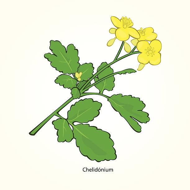 Greater Celandine Clip Art, Vector Images & Illustrations.
