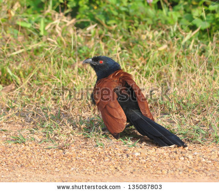 Pheasant Coucal Stock Photos, Royalty.