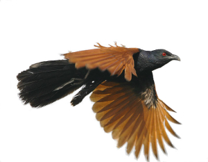 The call of the Greater Coucal.