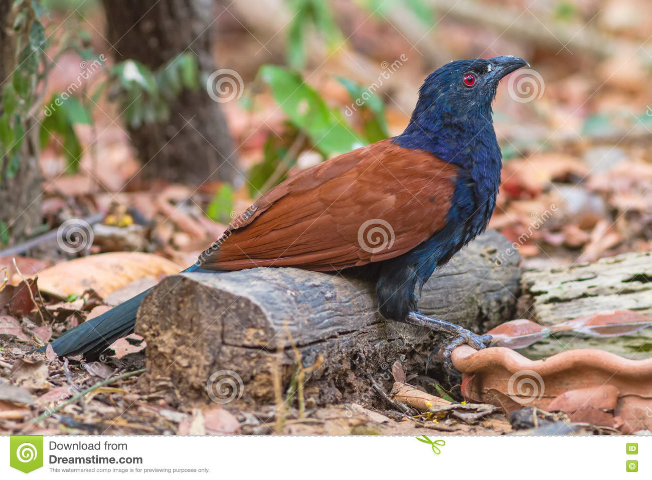 Beautiful Bird Greater Coucal Or Crow Pheasant Stock Photo.
