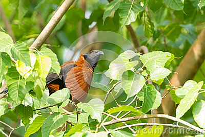 The Greater Coucal Or Crow Pheasant Stock Photo.