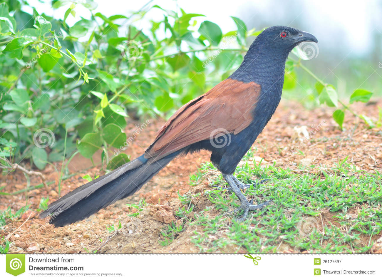 Greater Coucal Bird Royalty Free Stock Photography.