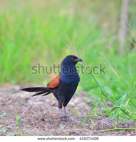 "crow Pheasant"" Stock Photos, Royalty."
