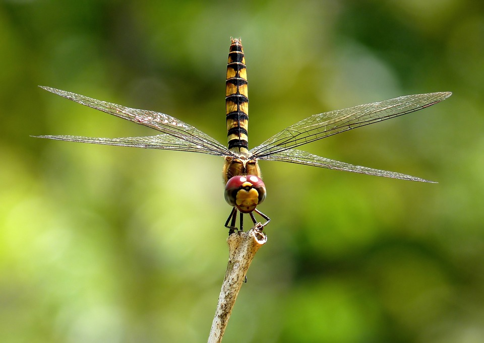 Free photo Insect Dragonfly Macro Greater Crimson Glider.