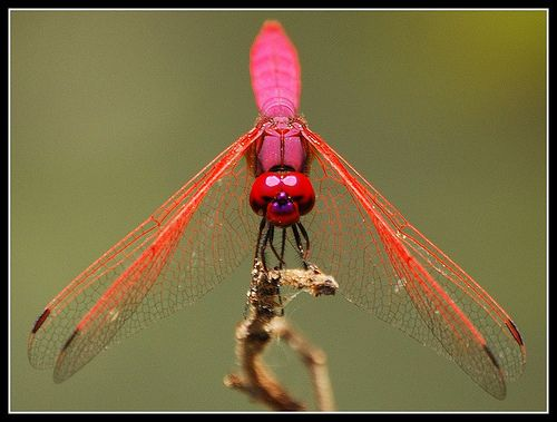 1000+ images about Dragonfly on Pinterest.