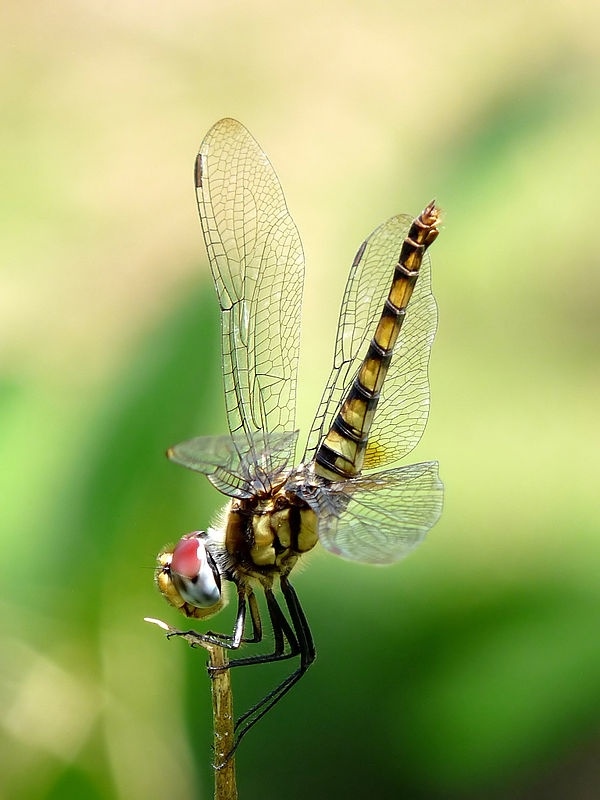 1000+ images about Dragonflies on Pinterest.