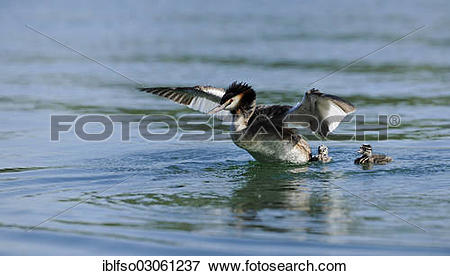 """Picture of """"Great Crested Grebe (Podiceps cristatus), adult and."""