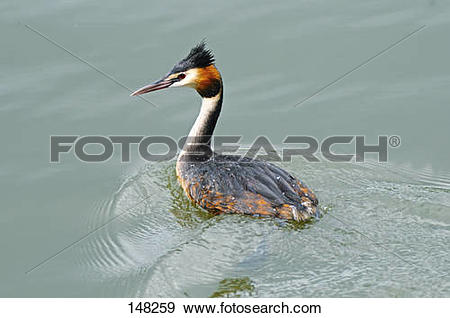 Stock Photograph of Great crested grebe in water / Podiceps.