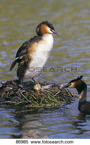 Stock Image of two Great Crested grebes at the nest in the water.