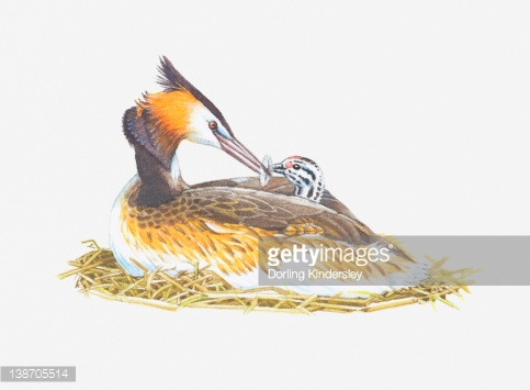 Illustration Of Great Crested Grebe Feeding Chick Stock.