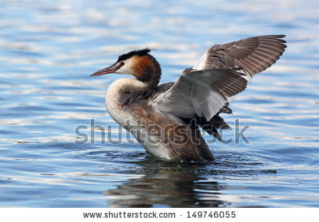Great Crested Grebes Stock Photos, Royalty.