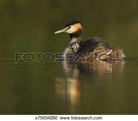 Stock Photography of Great crested grebe (Podiceps cristatus.