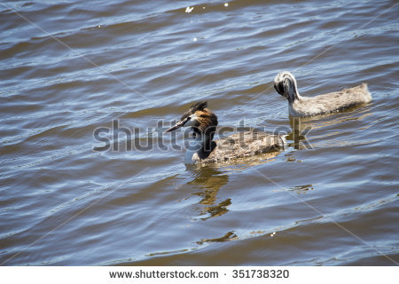 Grebe chick Stock Photos, Images, & Pictures.