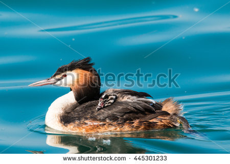 Grebe With Chicks Stock Photos, Royalty.