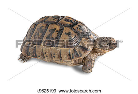 Stock Photograph of Close up of greek tortoise k9625199.