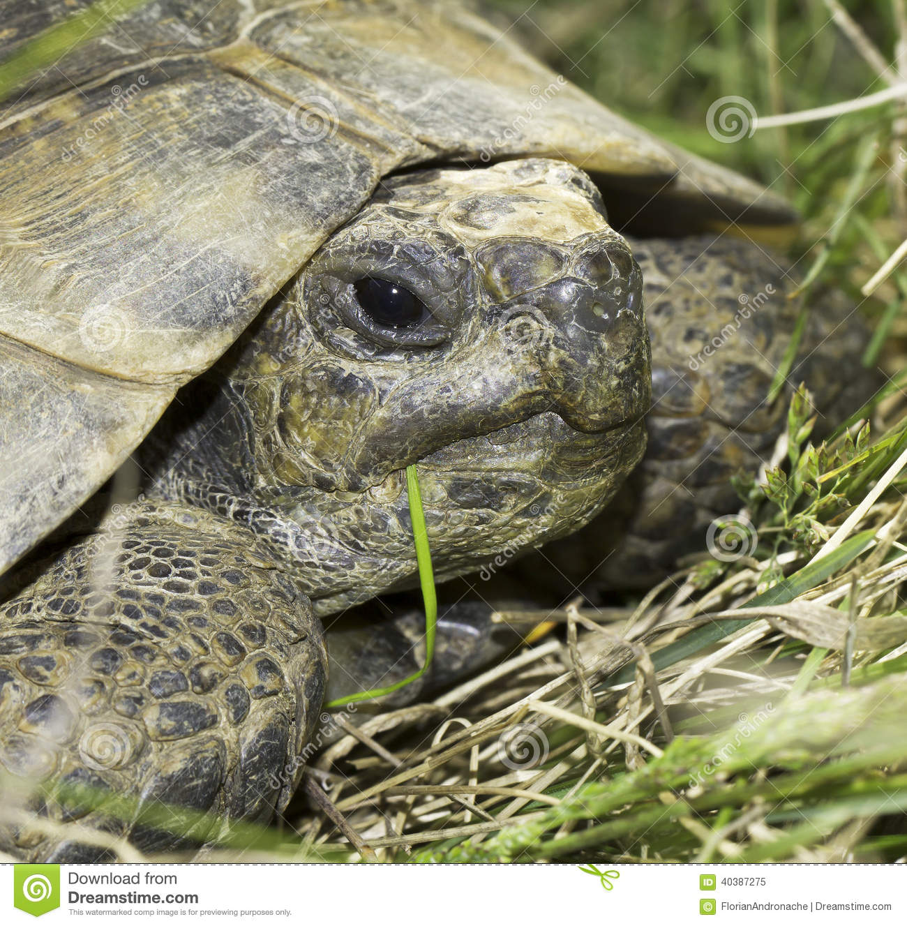 Greek Tortoise (Testudo Graeca). Stock Photo.