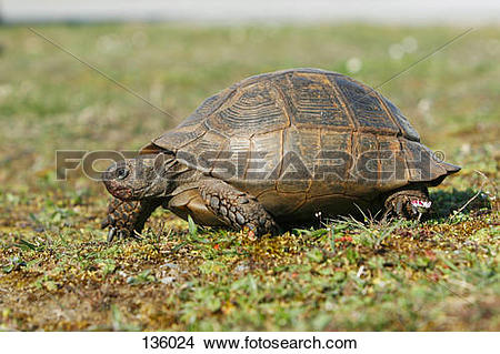 Stock Photo of Mediterranean Spur Thigh Greek Tortoise / Testudo.